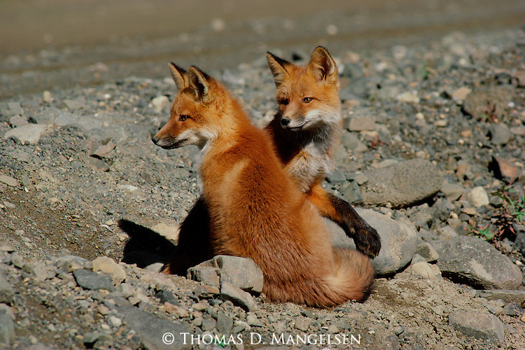 Two young foxes sit and observe the world around them.