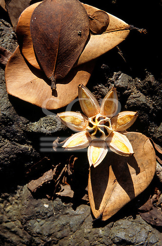 Osa Peninsula, Costa Rica. Sunlight catching an open star shaped seed pod; Corcovado National Park.