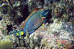 Princess Parrotfish