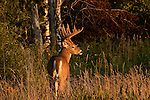 White-tailed deer in northern Wisconsin