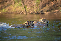 Two Jaguars (Panthera onca) swimming, crossing Rio Negro, Pantanal, Mato Grosso do Sul, Brazil, South America