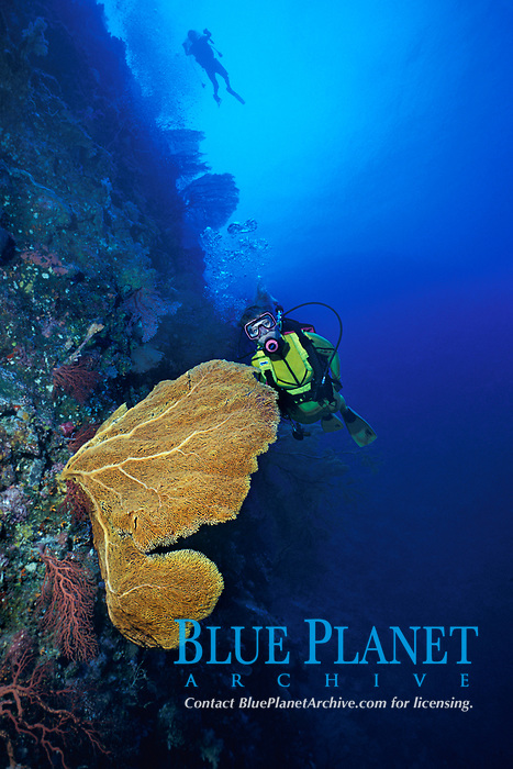 diver and sea fan or gorgonian soft coral, Subergorgia mollis, Palau, Micronesia (Western Pacific Ocean)