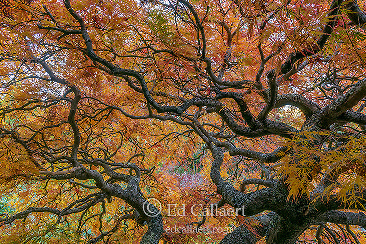 Japanese Lace Leaf Maple, Acer Palmatus, Fern Canyon Garden, Mill Valley, California