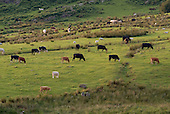 Cattle graze in a field below Moelwyn Mawr in the Snowdonia National Park in North Wales