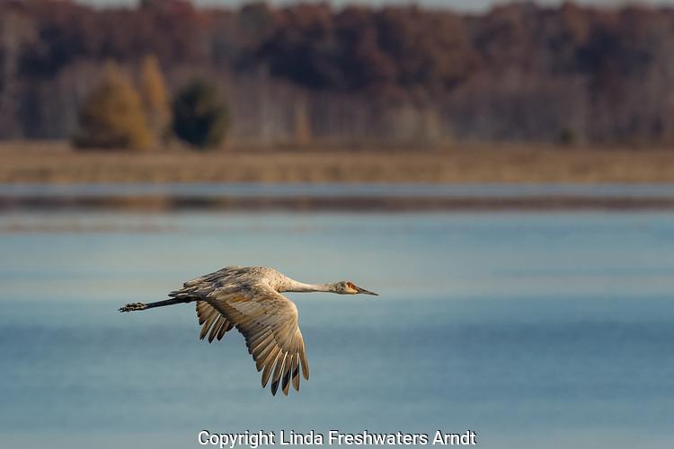 Sandhill crane flying over Phantom Lake in Crex Meadows.