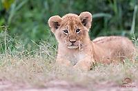Lion cub (Panthera leo) looks with disdain at photographers, Masai Mara