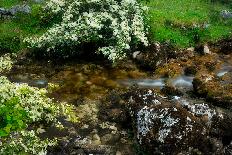 Caher River with Hawthorne tree in bloom.Lough Avalla Farm Loop trail County Clare, The Burren, Ireland