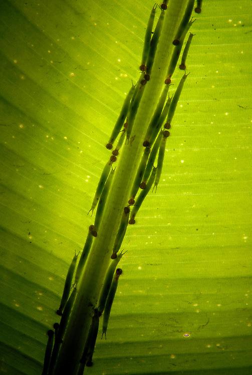 Parque Naturalístico Mangal das Garças,  Borboletário José Márcio Ayres.<br /> <br /> Lagarta  Caligo Brasilienses conhecida como Olho de Coruja  uma das espécies criadas no borboletário do Mangal das Garças se protege embaixo de folhas. Criado às margens do rio Guamá, em pleno centro histórico da capital paraense, o parque ecológico Mangal das Garças tem  uma área de 40.000m2, no entorno do Arsenal da Marinha. Belém, Pará, Brasil.<br /> Foto Paulo Santos<br /> 2008