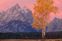 Aspen and Grand Teton at sunrise<br /> Teton Range<br /> Grand Teton National Park<br /> Rocky Mountains,  Wyoming