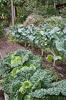 Organic raised bed with drip irrigation for cabbage and broccoli; MUST CREDIT: Elvin Bishop Garden