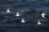 Sanderling (Calidris alba), flock in winter molting to breeding plumage in flight off Nickerson Beach Park, Lido, New York.
