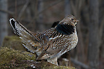 Ruffed grouse (Bonasa umbellus) watching for predators