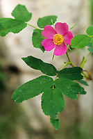 Wild rose blossom, Fairbanks, Alaska