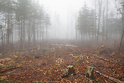 Logged forest along Long Pond Road (old North and South Road) in Benton, New Hampshire USA on a rainy and foggy autumn day.