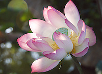 Large Pink lotus flower opening