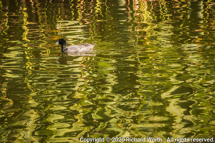 "An American coot is paddling contentedly, surrounded by the green rellections of wetland grasses along the shoreline at a neighborhood park known as ""The Duck Pond""."