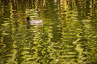 "An American coot is paddling contentedly, surrounded by the green reflections of wetland grasses along the shoreline at a neighborhood park known as ""The Duck Pond""."