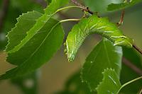 Birkenspinner, Birken-Spinner, Scheckflügel, Raupe frisst an Birke, Endromis versicolora, Kentish Glory, caterpillar, Le Bombyx versicolore