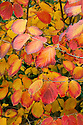 Autumn foliage of witch hazel (Hamamelis x intermedia 'Orange Peel'), early November.