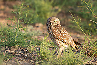 A Burrowing Owl, Athene cunicularia, stands near its artificial burrow in Zanjero Park, Gilbert, Arizona