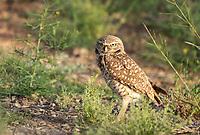 A Burrowing Owl, Athene cunicularia, stands near its artificial burrow in Zanjero Park, Gilbert, Arizona