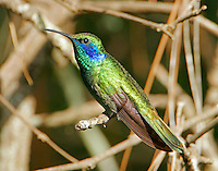 Green violet-ear. This Mexican/Central American bird (Sibley indicates that this bird occurs rarely through the central part of the US and up into Canada.) showed up in Bastrop, TX with immature plummage and had acquired mostly adult plumage by the time of this photo in mid July.