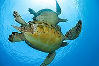 green sea turtle, Chelonia mydas, endangered species, West Maui, Hawaii, USA, Pacific Ocean