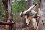 Adult golden-crowned sifaka or Tattersall's sifaka (Propithecus tattersalli) interacting with local villager in forest near Andranotsimaty, Daraina, north east Madagascar. Critically Endangered.
