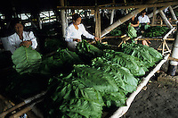 INDONESIA Java Forstenlanden, cigar tobacco farming, women prepare tobacco leaves for drying in Gudang / INDONESIEN Java Forstenlanden, Anbau von Zigarrentabak, Frauen trocknen Tabakblaetter in einem Gudang