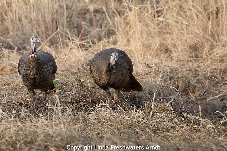 Eastern wild turkey - female