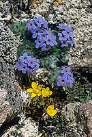 Mountain forget-me not, Alaska state flower, Pribilof Islands, Alaska