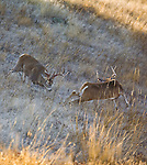 Fighting Whitetail bucks in rut in Montana