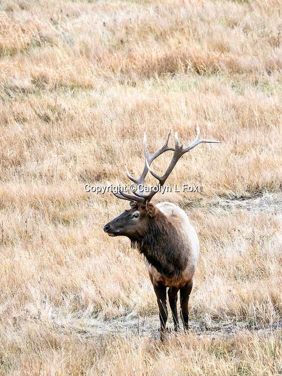 Elk are often found in Yellowstone.