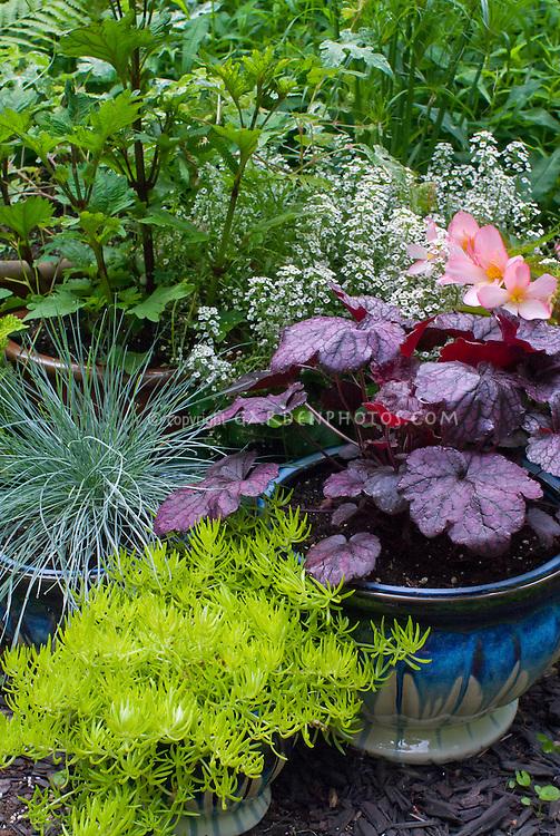 Container gardens pots, Festuca, blue pots, Alyssum Lobularia in bloom, purple Heuchera Grape Expectations, Festuca blue grass , yellow yellow Sedum, Begonia in flower