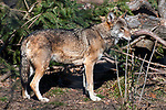 red wolf full body view facing right in front of pine tree and fallen log