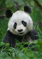 Smiling Panda #21 Portrait