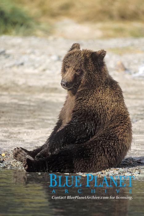 brown bear, Ursus arctos, grizzly bear, Ursus horribilis, subadult along a riverbank, east coast of Katmai National Park, Alaska, USA