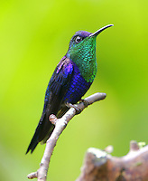 Male violet-crowned woodnymph
