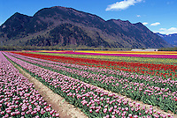 Tulips blooming on Tulip Bulb Farm Field near Abbotsford and Chilliwack, Fraser Valley, Southwestern BC, British Columbia, Canada, Spring