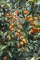 Apricots 'Golden Sweet' Prunus armeniacum growing on fruit tree