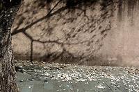 Campinas (SP), 31/08/2020 - Ipê Branco - Ipês Brancos floresceram e enfeitam ruas da cidade de Campinas (SP). A floração do ipê branco acontece em setembro e dura em média quatro dias, enquanto as espécies de outras cores (roxa e amarela), vão de uma semana a dez dias.
