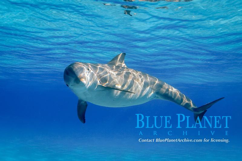 pregnant bottlenose dolphin, Tursiops truncatus, Little Bahama Banks, Bahamas, Caribbean Sea, Atlantic Ocean