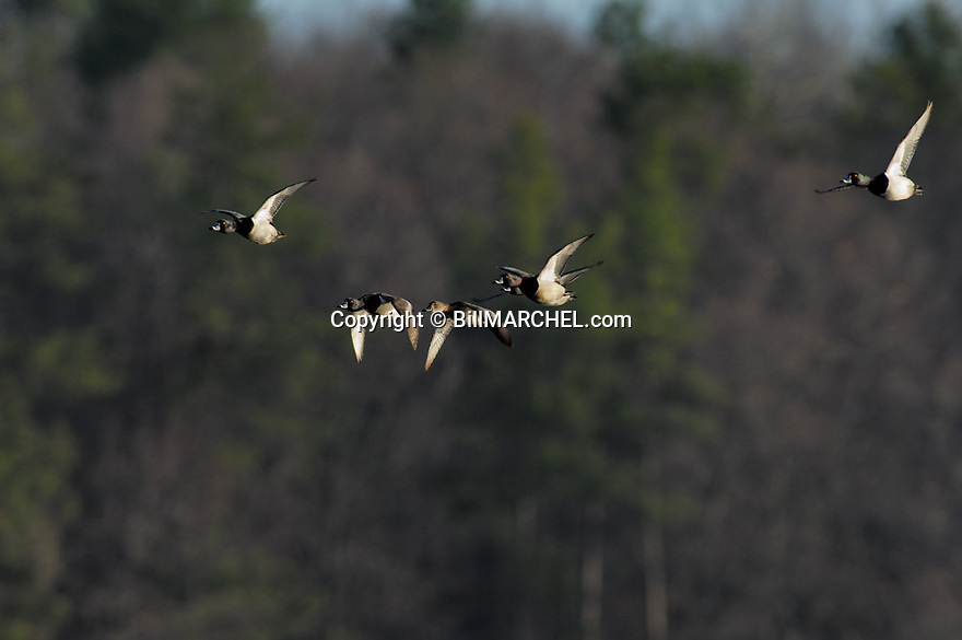 00305-022.01 Ring-necked Duck (DIGITAL) flock in flight against tree background.  Action, color, fly, bird, waterfowl, birding.  H2L1