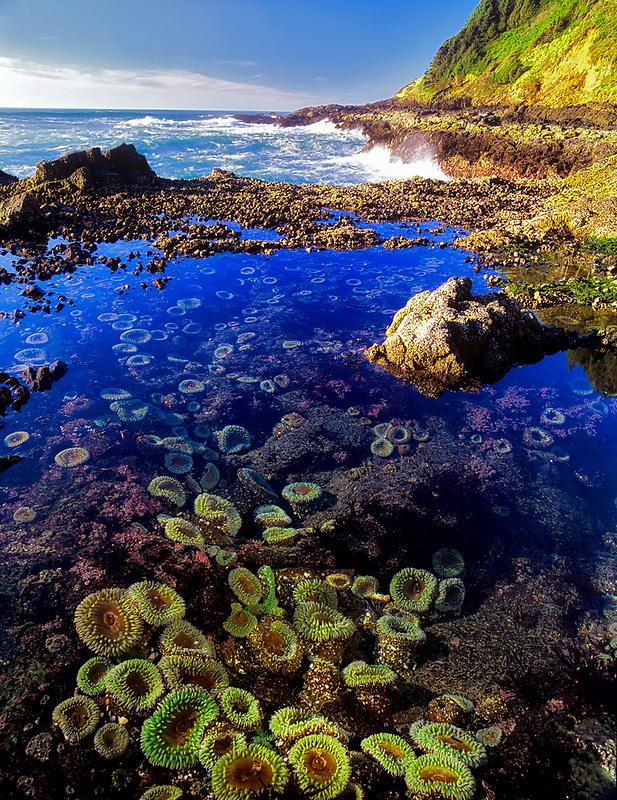 Cape Perpetua sea anemonies. Oregon.