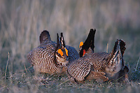 Lesser Prairie-Chicken, Tympanuchus pallidicinctus, males fighting, Canadian, Panhandle, Texas, USA, February 2006