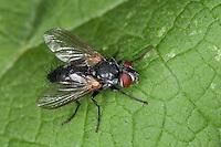 Raupenfliege, Tachinidae, Raupenfliegen, Schmarotzerfliegen, Tachinidae, tachinid fly, tachinids, parasitic flies, tachina flies