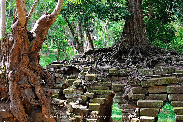 Strangler fig (Ficus sp.) tree roots on temple, Angkor Wat, Cambodia
