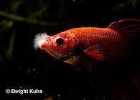 BY11-022z  Siamese Fighting Fish - cotton mouth disease (Chondrococcus columnaris) - Betta splendens