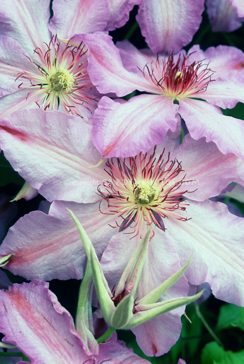 Clematis The First Lady, red stamens, pinkish blue