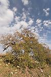 Judea, Cyprus Oak tree in Beth El